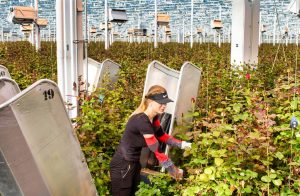 Greenhouse worker - harvesting of soft fruit